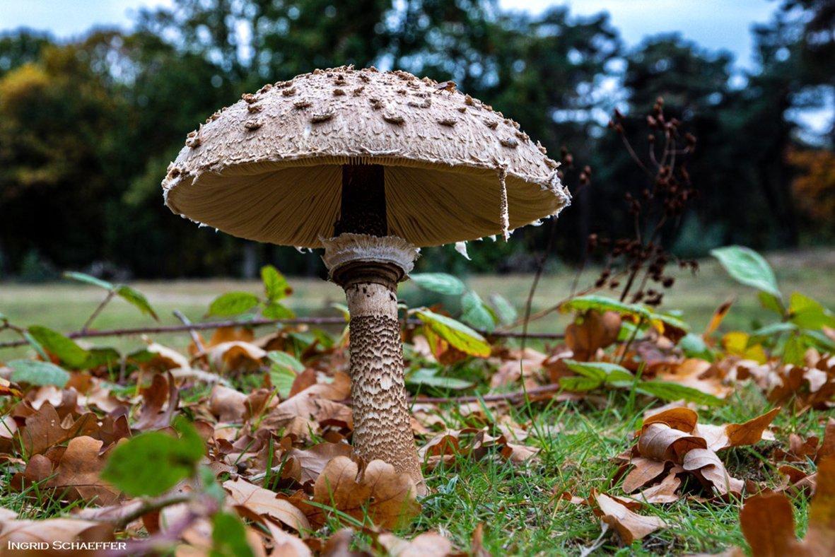 Alg 3 paddenstoelen (6)