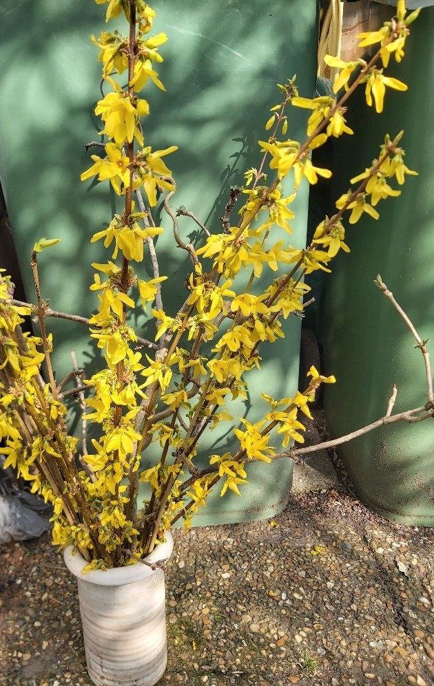 geel Ineke (1)