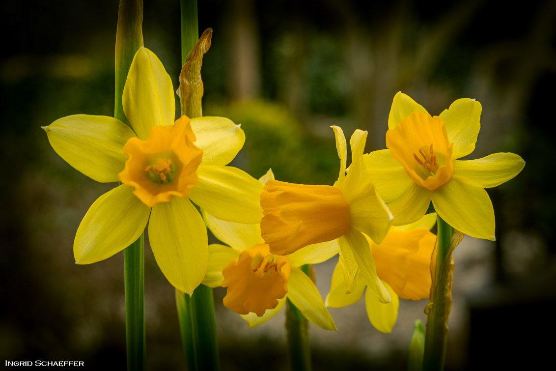 geel Ingrid (1)