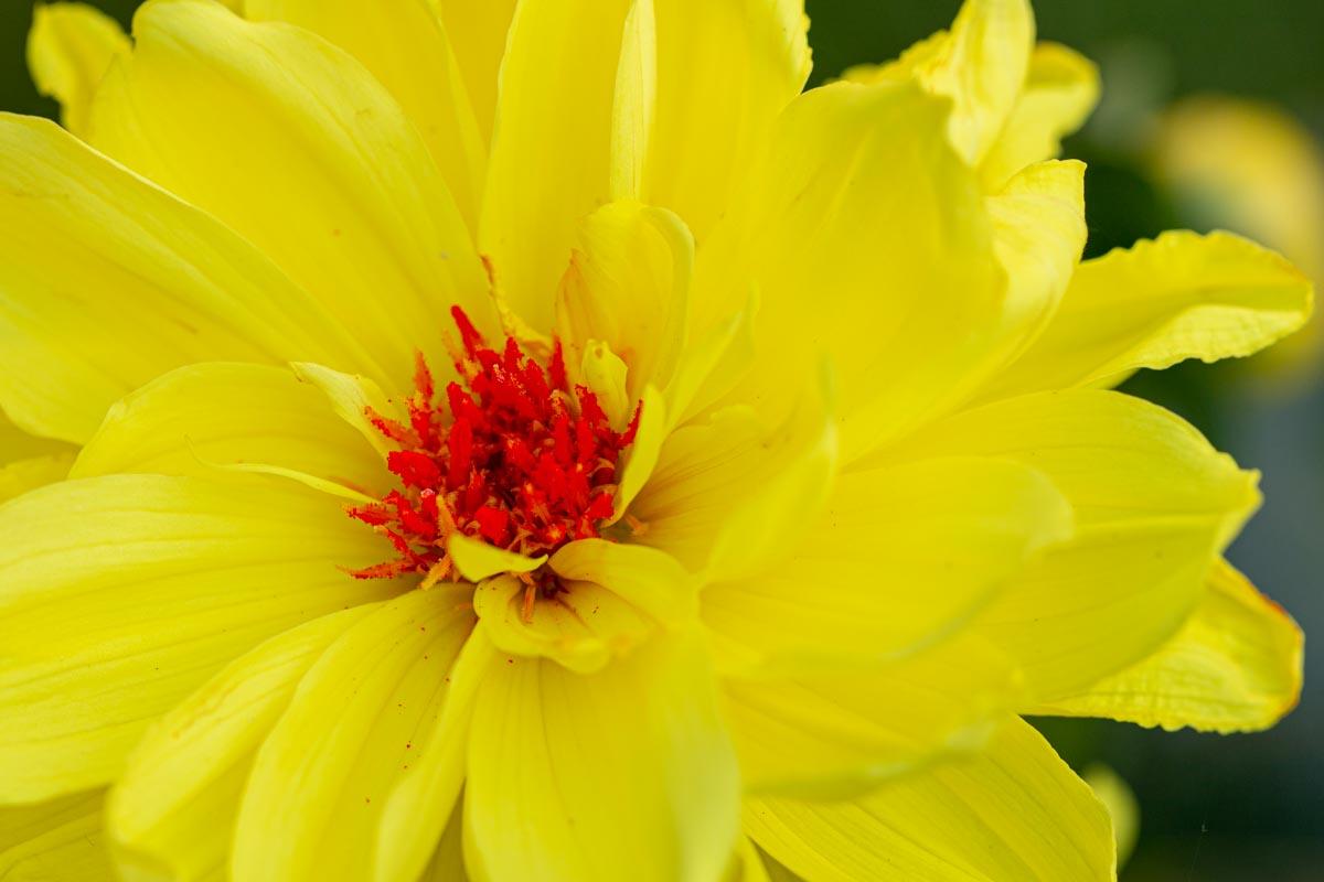 geel-rood Mieke (1)