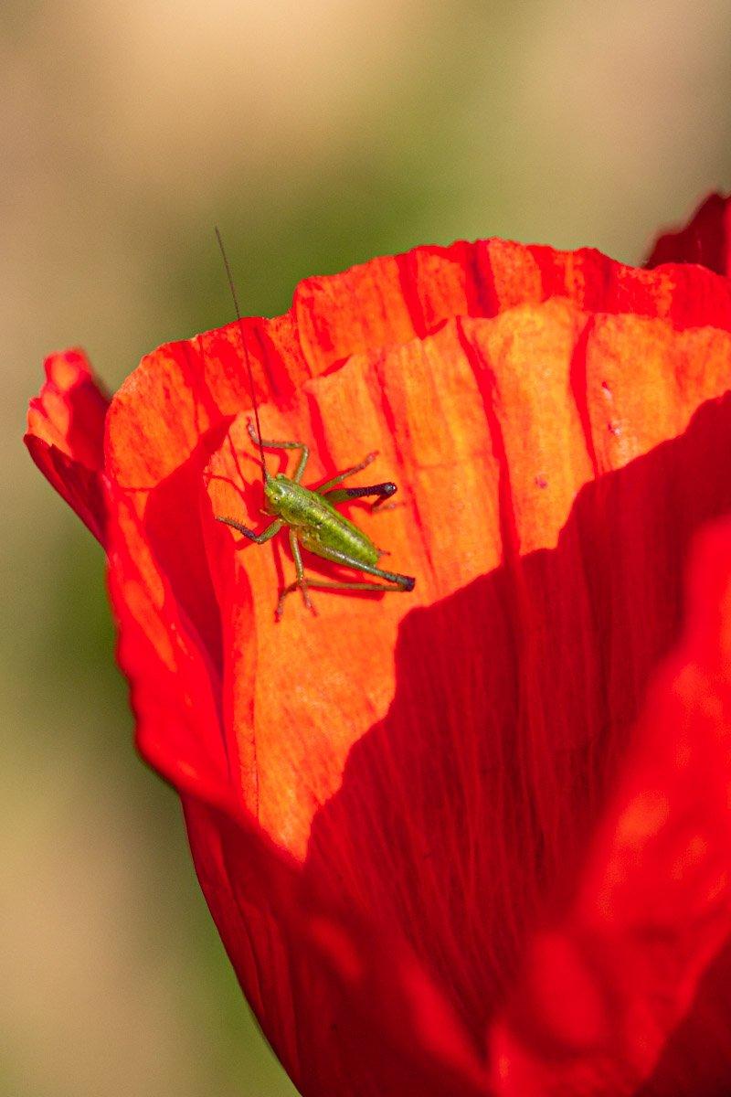 geel-rood Mieke (3)