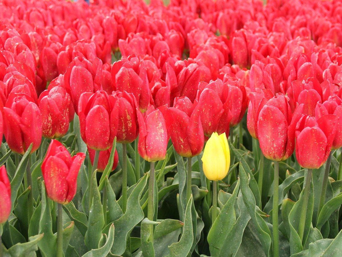 geel-rood Nel (3)