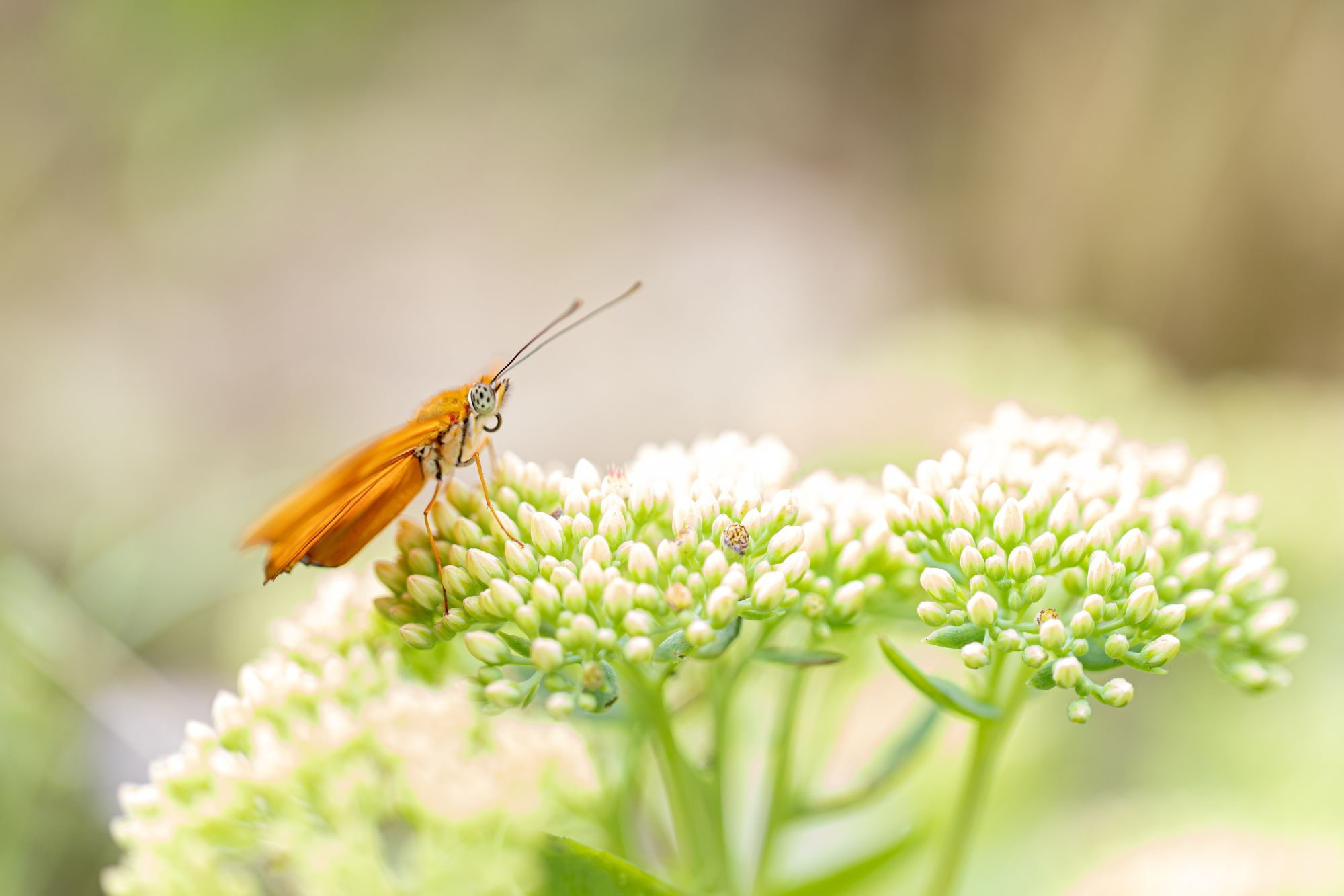Alg2-Vlindertuin Mieke (3)